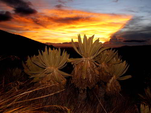 10 Best Nature Attractions in One Tour: Frailejones in El Angel Reserve.