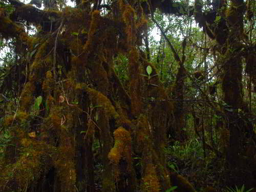10 Cotacachi Cayapas Ecological Reserve Facts: In the montane forest, trees are covered with moss and other epiphytes.