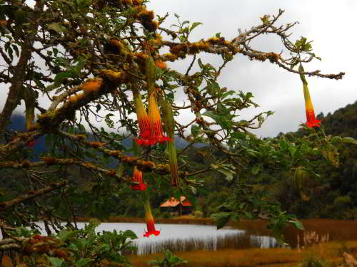 Cajas Nationalpark, Ecuador Tours: Rote Engeltrompete Anden