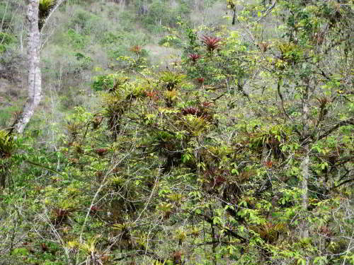 10,000 NATIVE FLOWERS OF ECUADOR [100 PICTURES]: Epifytes dry forest.