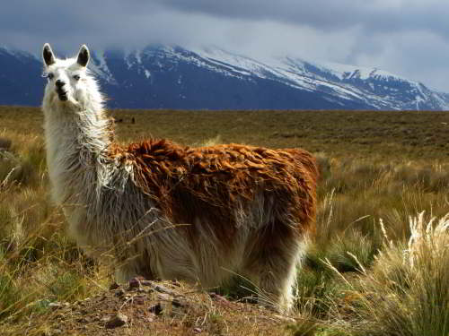 ECUADOR ANDES TREKKING TOUR [TREK TO 10 NATIONAL PARKS]: Alpacas in Chimborazo Wildlife Reserve are the domesticated form of the vicu�as.