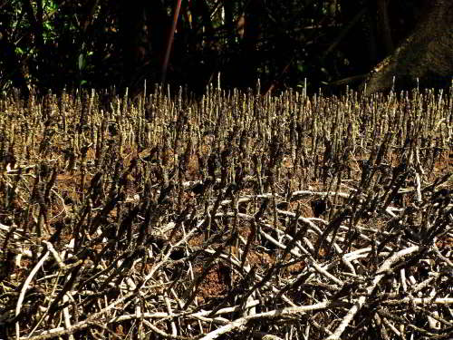 10,000 NATIVE FLOWERS OF ECUADOR [100 PICTURES]: Conocarpus erecta Mangrove with air roots, Pacific Coast, Ecuador
