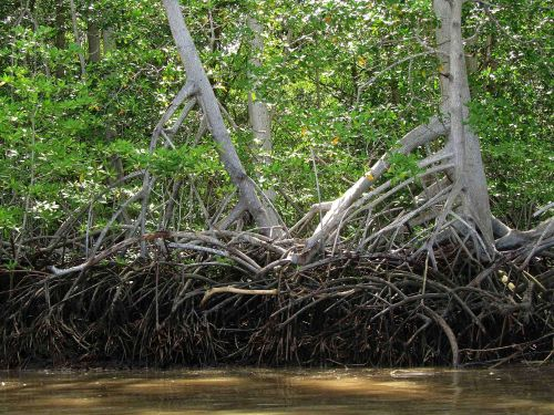 TOP 100 INTERESTING FACTS ABOUT ECUADOR: Red Mangrove forests at the Padific coast of Ecuador