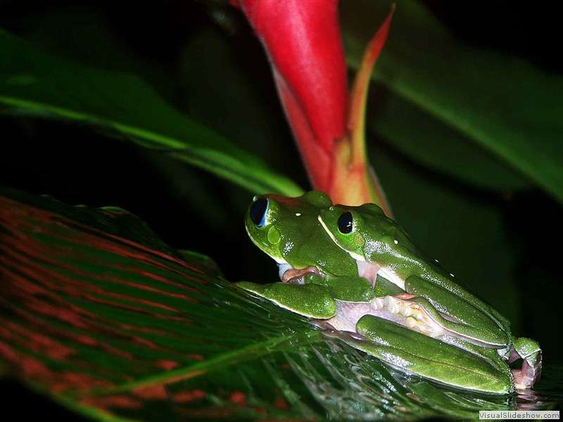 tree_frog_amazon_jungle